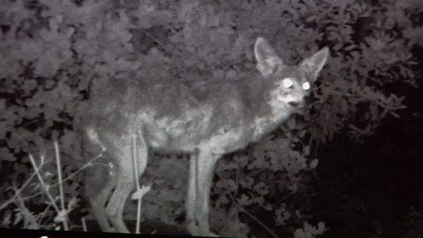 Missing pets, mounting coyote sightings in South Bay