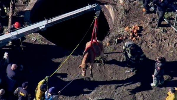 Cow rescued from well in Castro Valley