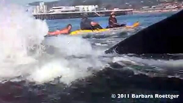 Whales jumping out of water next to surfer - photo#18