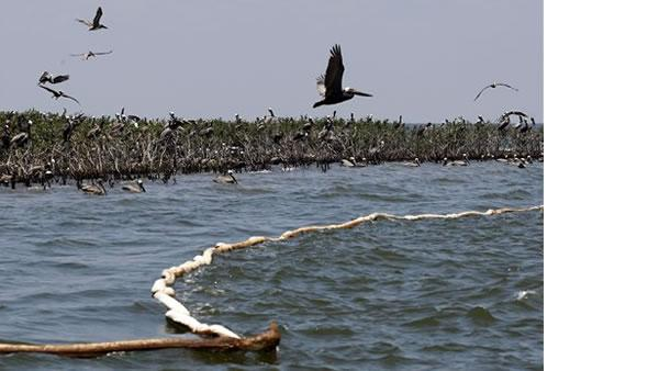 Pelicans nest on an island in Barataria Bay on the coast of Louisiana.