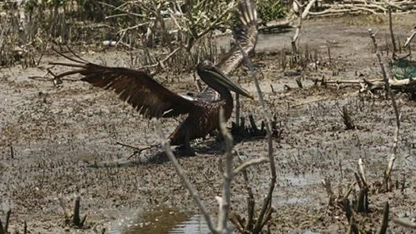 An oil soaked pelican takes flight after Louisiana Fish and Wildlife employees tried to corral him.