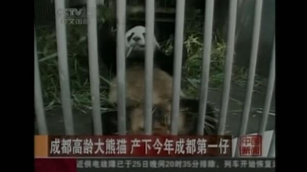 Panda from China gives birth to female cub