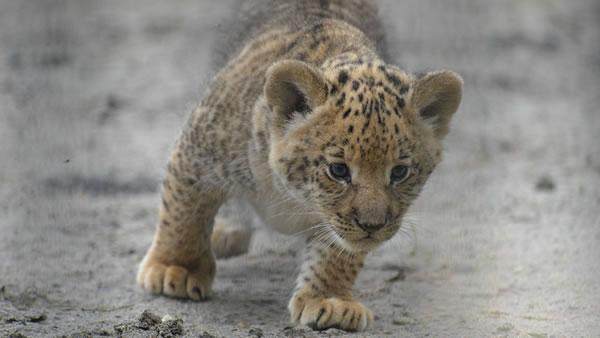 In this Tuesday, June 18, 2013 photo, a month-old liliger cub walks in Novosibirsk Zoo.