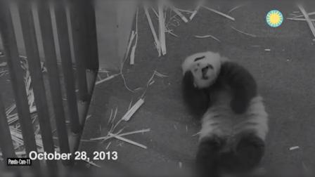 An image of the National Zoos female giant panda cub taken from the zoos Panda Cam.