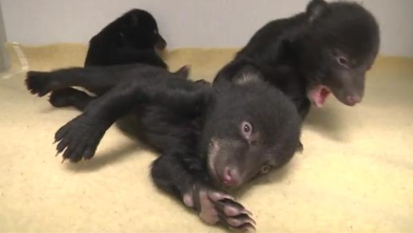 Oregon Zoo takes in orphaned black bear cubs