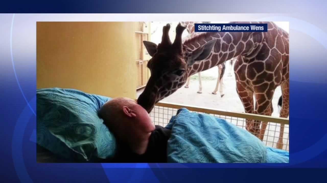 Giraffe gives terminally ill zoo worker kiss goodbye