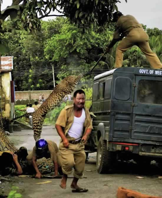 In this photo taken Tuesday, July 19, 2011, a leopard attacks a forest guard as another runs for cover at Prakash Nagar village near Salugara, on the outskirts of Siliguri, India. The leopard strayed into the village area and mauled several villagers, including three guards, before being caught by forest officials, according to news reports. The leopard, which suffered injuries caused by knives and batons, died later in the evening at a veterinary center. (AP Photo)
