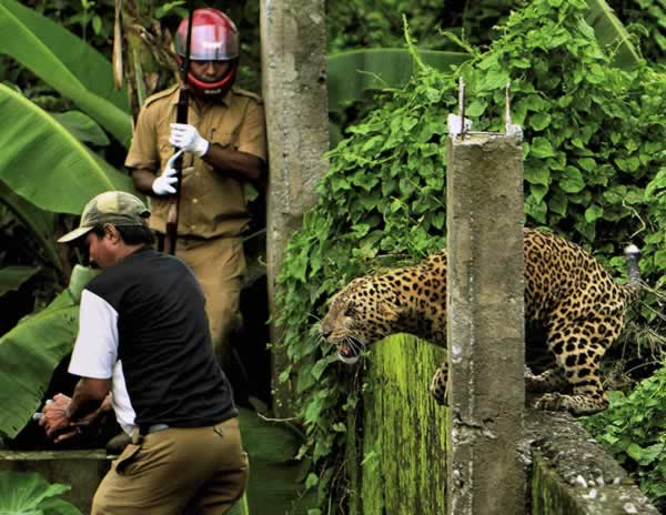 "<div class=""meta image-caption""><div class=""origin-logo origin-image ""><span></span></div><span class=""caption-text"">In this photo taken Tuesday, July 19, 2011, a leopard attacks a forest guard as another runs for cover at Prakash Nagar village near Salugara, on the outskirts of Siliguri, India. The leopard strayed into the village area and mauled several villagers, including three guards, before being caught by forest officials, according to news reports. The leopard, which suffered injuries caused by knives and batons, died later in the evening at a veterinary center. (AP Photo)</span></div>"