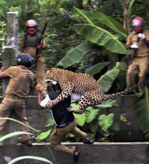 "<div class=""meta image-caption""><div class=""origin-logo origin-image ""><span></span></div><span class=""caption-text"">In this photo taken Tuesday, July 19, 2011, a leopard attacks a forest guard as another runs for cover at Prakash Nagar village near Salugara, on the outskirts of Siliguri, India. The leopard strayed into the village area and mauled several villagers, including three guards, before being caught by forest officials, according to news reports. The leopard, which suffered injuries caused by knives and batons, died later in the evening at a veterinary center. (AP Photo)  </span></div>"