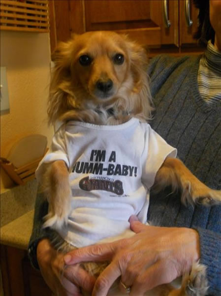 Dog, PJ, wearing a baby&#39;s Giants shirt from the 90s. <span class=meta>(submitted via uReport)</span>