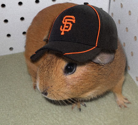 &#34;My guinea pig and I collaberated on this picture using Photshop. Go Giants!!&#34; <span class=meta>(submitted via uReport)</span>
