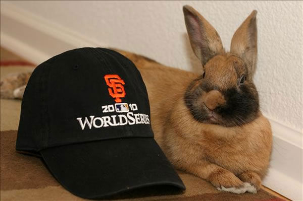A picture of the giants biggest little fan - our bunny sporting his beard after the game 1 win! From Quy and Tracie  (Photo submitted by Guy and Tracie via uReport)