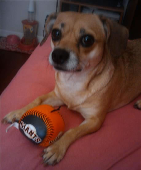 Here is a picture of a puppy that is a true SF Giants fan  (Photo submitted by uReport)