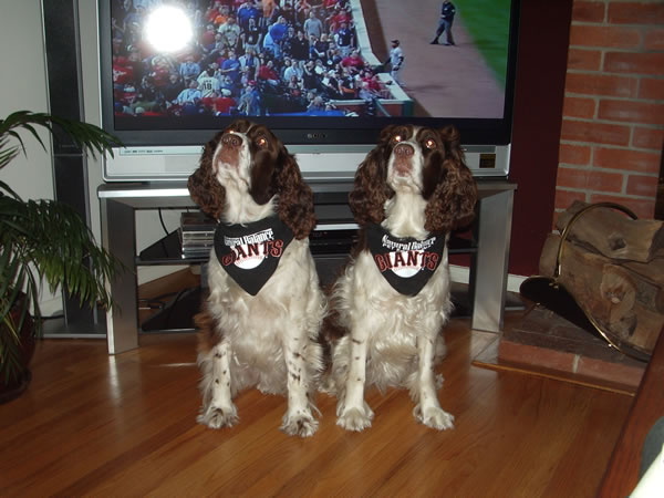 Hi, here are Katie and Tillie, English Springer Spaniels, 6-years-old from San Carlos! They are huge fans! Go Giants!  (Photo submitted by Karen Gotelli and Don Bartle via uReport)