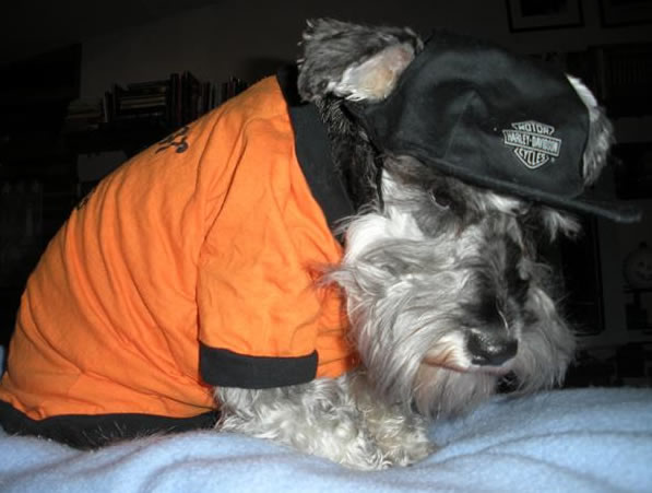 "Here is a picture of our miniature schnauzer, Dexter.  He is a true ""fear the beard"" Giants fan!  Go giants!!  Cheryl Dill from Vallejo (Photo submitted by Erika via uReport)"