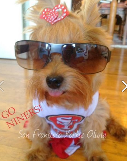 Thanks for showing off your Niner pride! Keep emailing your photos to uReport@kgo-tv.com and we might share them on TV! <span class=meta>(kgo-49er-ans-yorkie-in-49ers-gear-011114-417)</span>