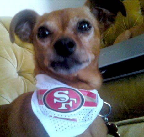 Chilly is a proud 49ers pooch!! <span class=meta>(Submitted by zamorapa via uReport)</span>