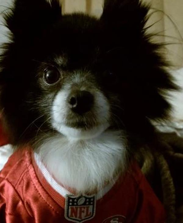 Cookie the Pomeranian in her jersey