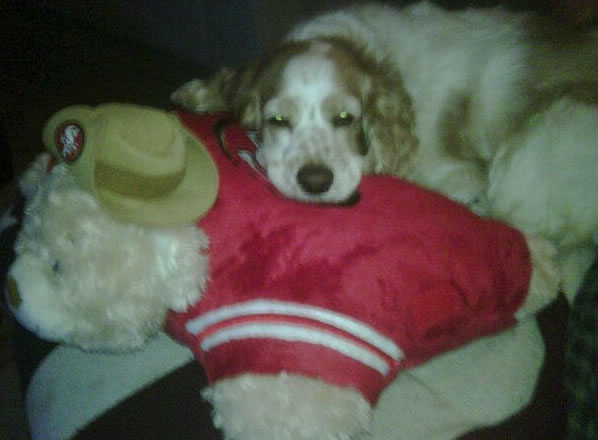"<div class=""meta ""><span class=""caption-text "">Our cocker spaniel, Bailey, loves to sleep on her Niners pillow pet! GO NINERS! (Photo submitted by CattyAnn via uReport)</span></div>"