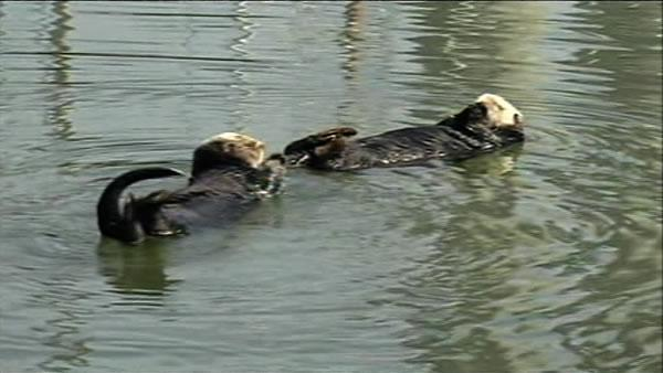 California sea otter population down