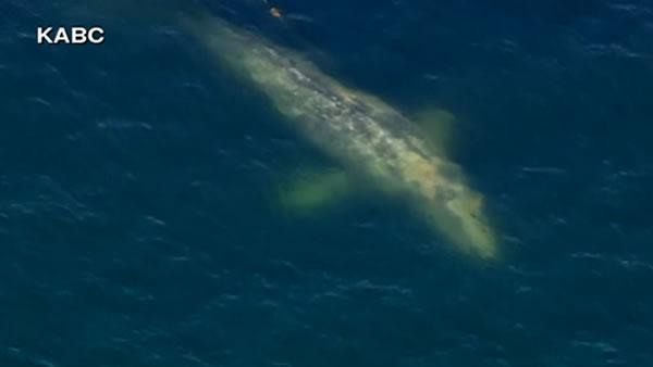 Rescuers hope to free entangled whale