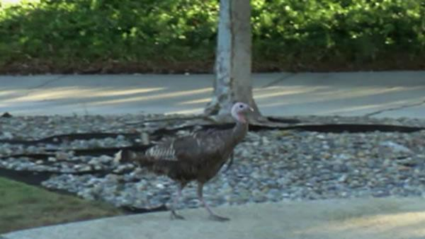 $1,000 reward for info on turkey shot with arrow