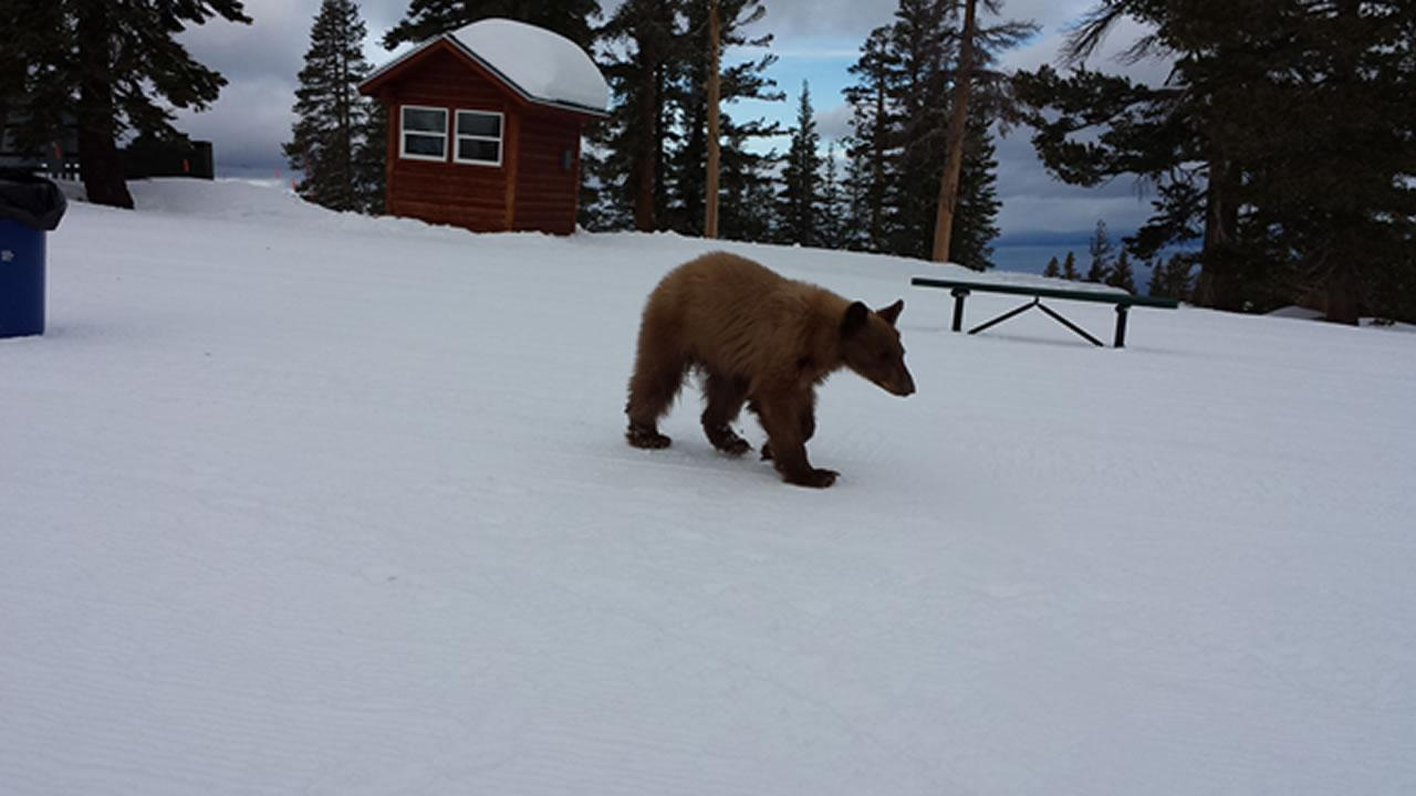 An injured male bear cub was found Monday morning at Heavenly ski resort. It was transported to Lake Tahoe Wildlife Care to be treated.Heavenly Mountain Resort