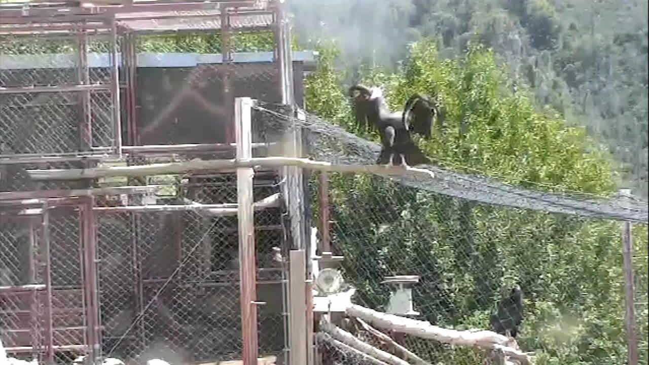 California condor #631 released into the wild