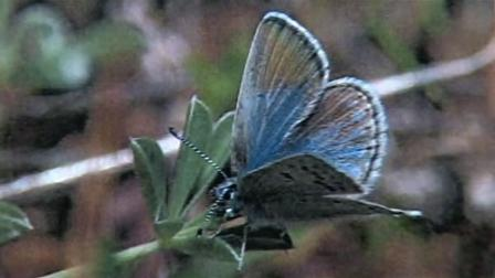 Biologists say the number of new Mission Blue butterflies has increased significantly.