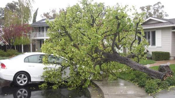 Tree that fell on car in Pleasanton, March 24, 2011 (Photo submitted via uReport by Molly Fourie)