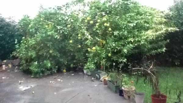 Storm uproots lemon tree