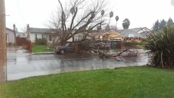 Storm-toppled tree