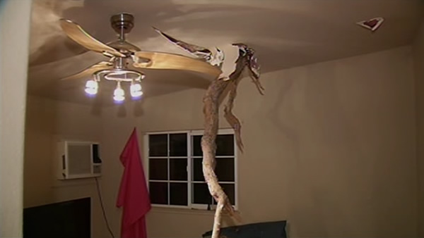 "<div class=""meta ""><span class=""caption-text "">Tree injured a man when it fell into a home in Antioch. Part of the tree penetrated the roof and cut the man's back. October 27, 2013. (KGO)</span></div>"