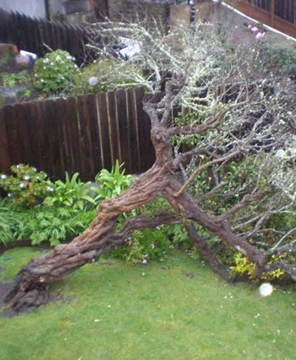 Fallen tree in back yard of home at 720 Pacheco St, in San Francisco. (Submit