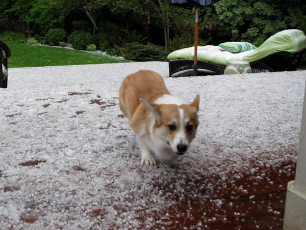 "<div class=""meta ""><span class=""caption-text "">Puppy ""Hank"" runs from the Hail in Martinez (Photo submitted by Lippow via uReport)</span></div>"