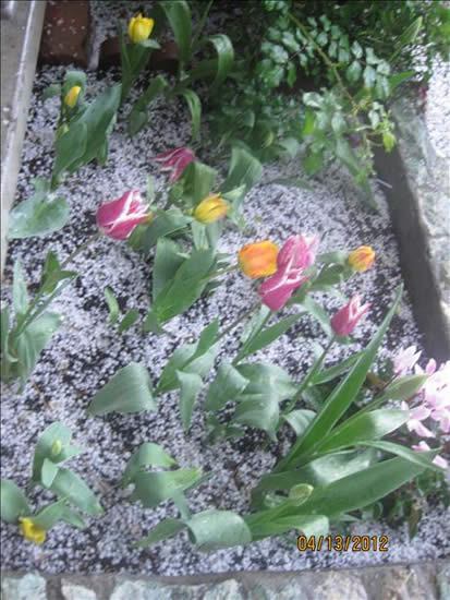A little hail and tulips in East San Jose &#40;April 13th&#41;. <span class=meta>(submitted via uReport)</span>