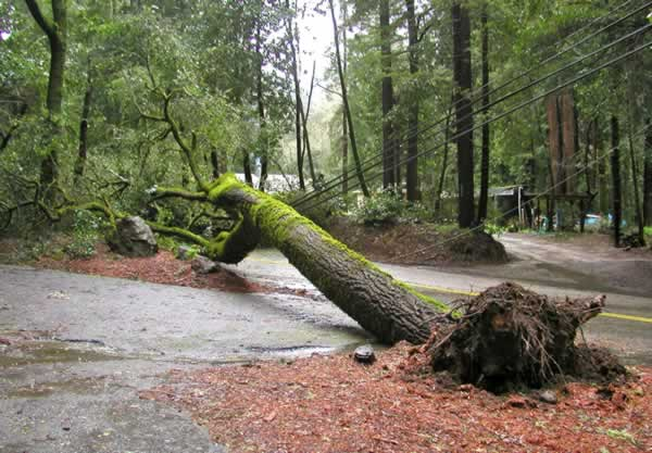 Fallen tree near Scotts Valley, March 24, 2011...