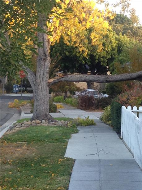Tree branch in Redwood City fell into a resident&#39;s yard. <span class=meta>(submitted by Janet Lawson via uReport)</span>
