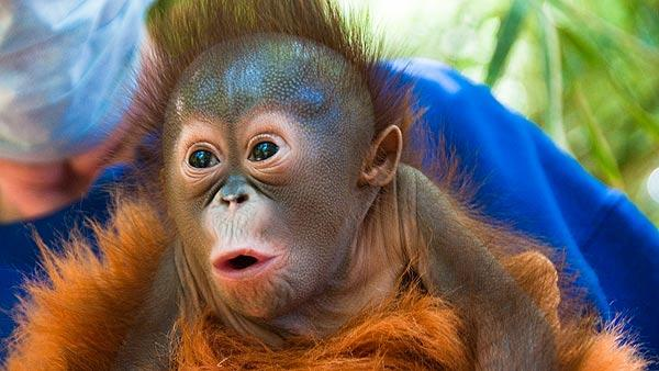 Endangered orangutan baby at Houston Zoo