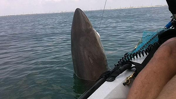 No fish story father reels in shark while fishing with for Fishing in galveston
