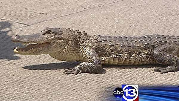 Gator stops traffic on Katy Freeway feeder