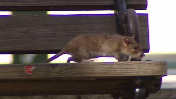 Downtown park overrun with rats
