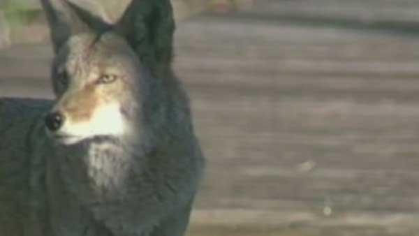 Homeowners fed up with coyotes in neighborhood
