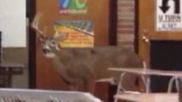 Deer crashes through window of OH school