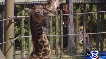 Baby giraffe Yao Ming gets a kiss from his mother at the Houston Zoo
