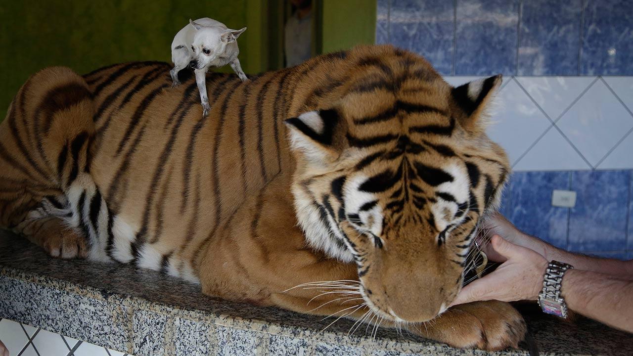 Tiger family in Brazil