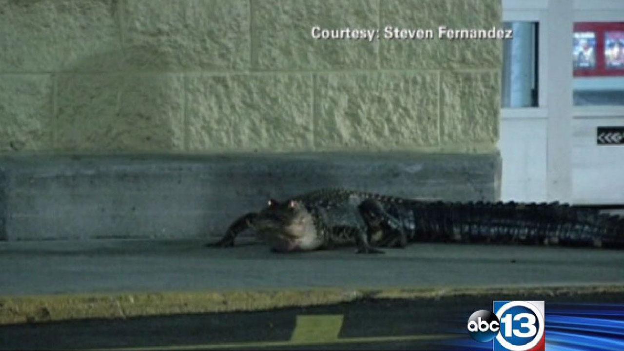 Gator goes shopping at central Florida Walmart