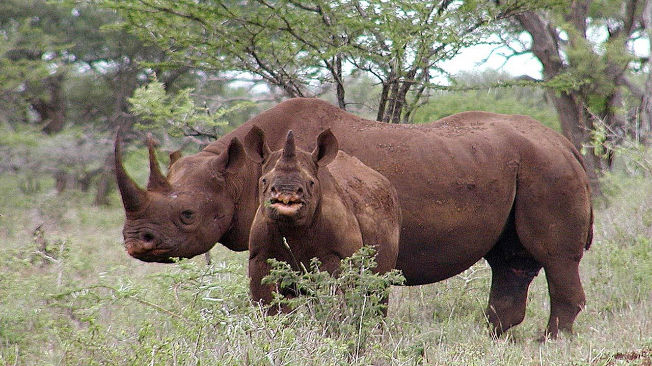 Black rhino male and calf