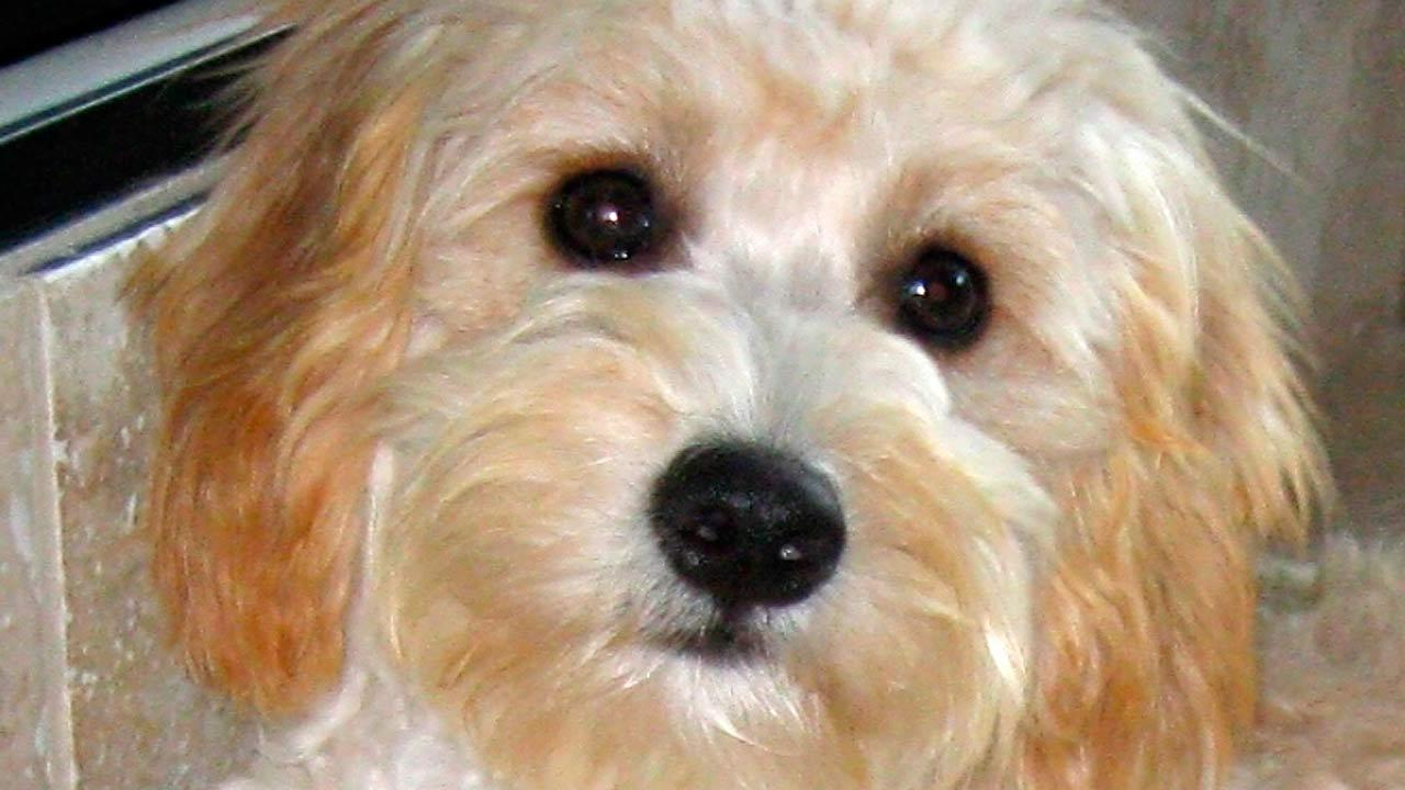 The cava-poo-chon is a cavalier King Charles spaniel and bichon frise mix bred with a miniature poodle.
