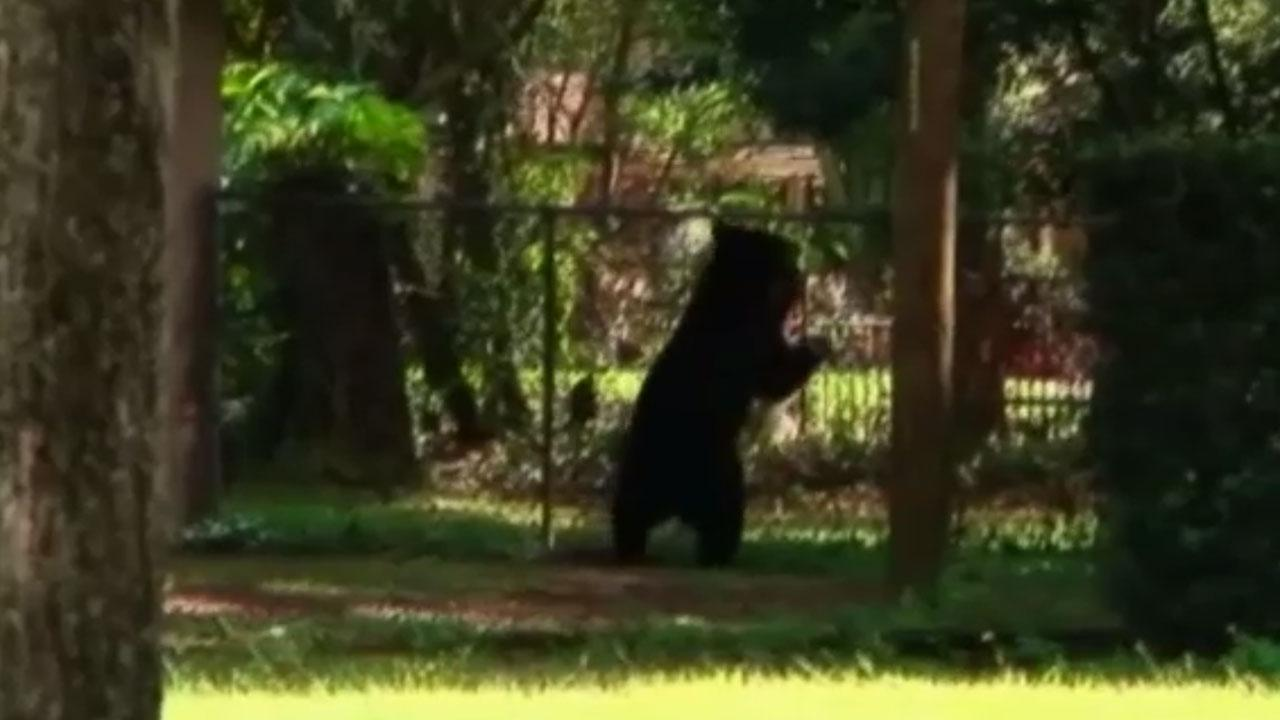 Black bear crashes backyard birthday party near Orlando